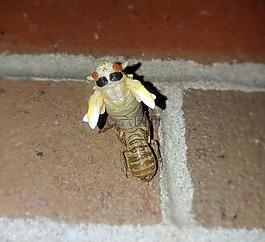 蟬,定期蟬,昆蟲