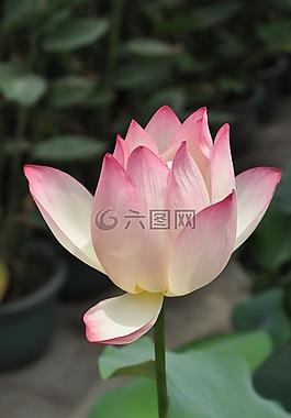 荷花,粉色荷花,花卉