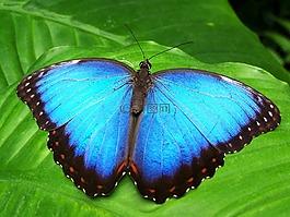 蝴蝶,蓝色,昆虫