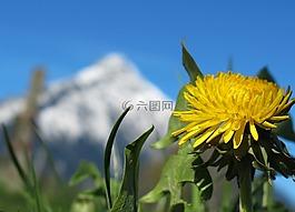 春天,春天的花,蒲公英