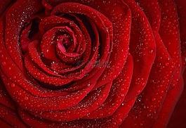 玫瑰,红色,罗莎