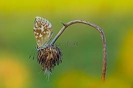 蝴蝶,黄色,草