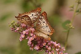 蝴蝶,宏,昆虫