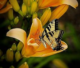 蝴蝶,燕尾,翠凤蝶