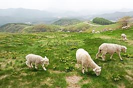 牧場,楊,羔羊