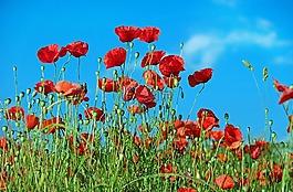 罂粟,花,klatschmohn