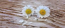 鮮花,雛菊,白黃色