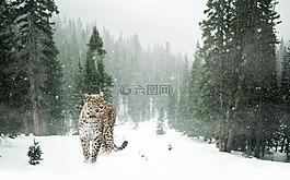 波斯豹,豹,雪
