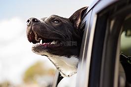 狗,快乐,车