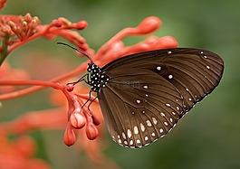 条纹的核心,蝴蝶,布朗
