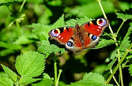 孔雀蝴蝶,蝴蝶,昆虫