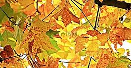 秋季,秋天树叶,叶子