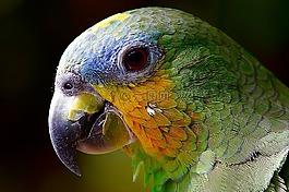 鹦鹉,亚马逊,动物