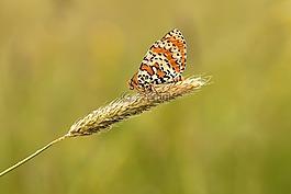 蝴蝶,草甸,性质