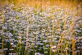 洋甘菊,鲜花,白色的花