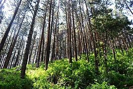 高大的樹木,松樹,樹木
