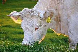 幸福牛,牛肉,奶牛