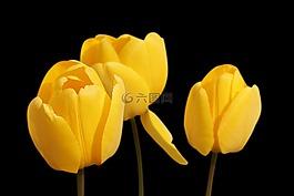 郁金香,黄色,鲜花