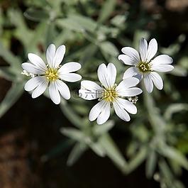白色的花朵,娇嫩的花朵,三花