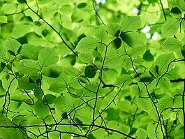 叶子,林冠,绿色