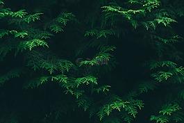 顏色,針葉樹,環境