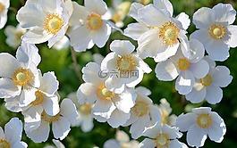 白,花,植物