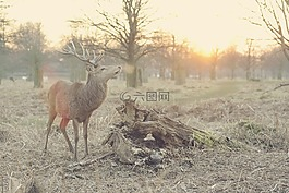 雄鹿,鹿,自然