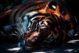 虎,野生动物,动物