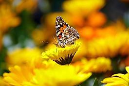 蝴蝶,昆虫,动物