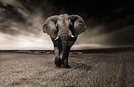 象,黑色和白色,动物
