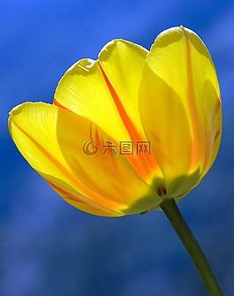 郁金香,黄色,春天