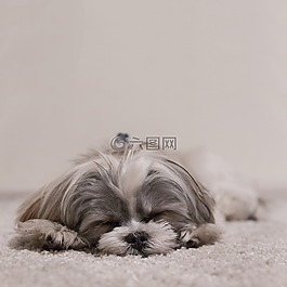 狗,睡眠,西施