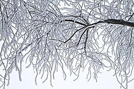 樹,霜,冬天