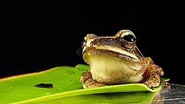 青蛙,金色的眼睛,宏