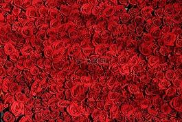 玫瑰,鲜花,红色