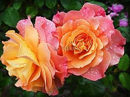 玫瑰,性质,花