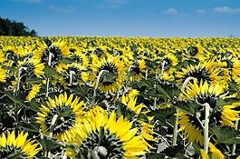 向日葵,夏季,黄色