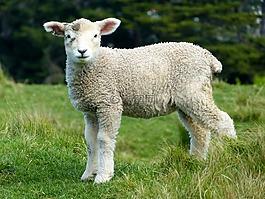羊,白,羔羊