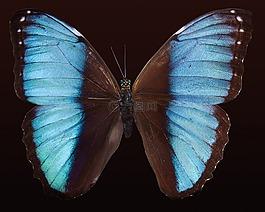 蝴蝶,异国情调,南美洲