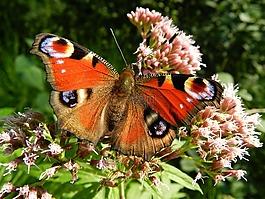 蝴蝶,翅膀,红色