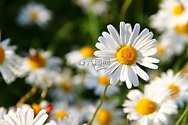 雛菊,白,花