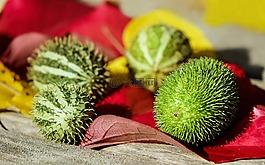 黄瓜,观赏黄瓜,水果