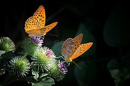 银豹纹,蝴蝶,性质