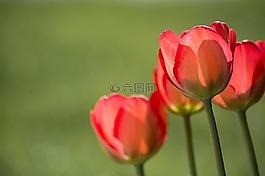 郁金香,红色,红色郁金香