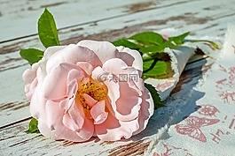 玫瑰,花,开花