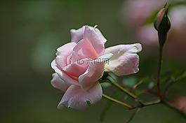 玫瑰,花的,植物