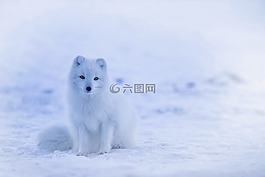 冰岛,北极狐,动物