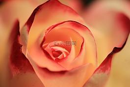 玫瑰,橙色玫瑰,开花