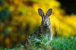 兔,野兔,动物