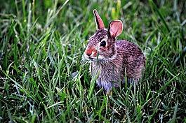 兔子,兔,哺乳动物